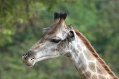 Giraffe neck turns left Royalty Free Stock Photo