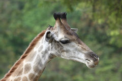 Giraffe neck turns right Stock Photo