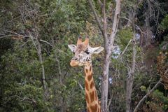 Giraffe from the neck up surrounded by trees royalty free stock image