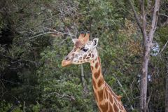 Giraffe from the neck up stock image
