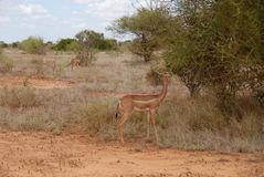 Giraffe-necked Antelope Royalty Free Stock Photography