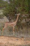 Giraffe-necked Antelope Stock Photo