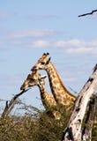 Giraffe nel cespuglio Fotografia Stock Libera da Diritti
