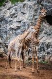 Giraffe nel giardino zoologico Immagine Stock Libera da Diritti