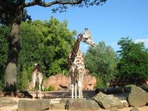 Giraffe nel giardino zoologico Grandi giraffe Immagine Stock