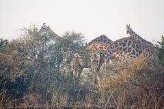 Giraffe nel selvaggio Fotografia Stock