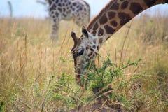 Giraffe nel selvaggio Immagini Stock Libere da Diritti