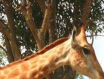 Giraffe nella natura stock footage