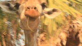Giraffe nella natura archivi video