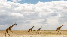 Giraffe nella savanna africana Fotografie Stock Libere da Diritti