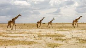 Giraffe nella savanna africana Fotografia Stock Libera da Diritti