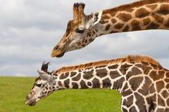 Giraffe nella sosta della fauna selvatica Fotografia Stock