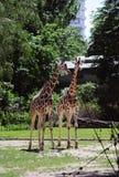 Giraffe nello zoo di Berlino fotografia stock libera da diritti