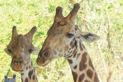 Giraffe nello zoo sullo sguardo da vicino fotografie stock