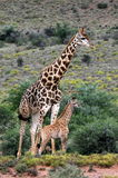 Giraffe and a new born baby calf. A big male giraffe stands next to a new born giraffe calf in south africa Royalty Free Stock Photography