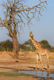 A giraffe next to a waterhole in Zimbabwe Stock Photography