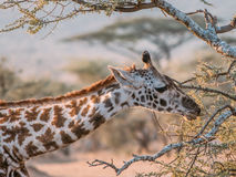 Giraffe Nibble Stock Image