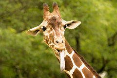 Giraffe. Nice giraffe sticking out it's tongue Royalty Free Stock Photo