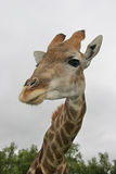Giraffe no arbusto Imagens de Stock Royalty Free