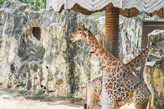 Giraffe no jardim zoológico fotografia de stock royalty free