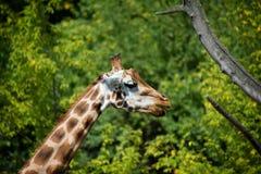 Giraffe no jardim zoológico Imagem de Stock Royalty Free