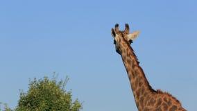 Giraffe no jardim zoológico video estoque
