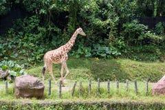 Giraffe no jardim zoológico Imagem de Stock