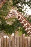 Giraffe no jardim zoológico de Boise Fotos de Stock