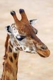 Giraffe no jardim zoológico de Praga fotos de stock royalty free