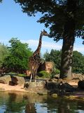 Giraffe no jardim zoológico Girafa bonito grande fotos de stock