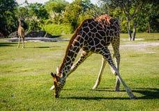 Giraffe no jardim zool?gico fotografia de stock