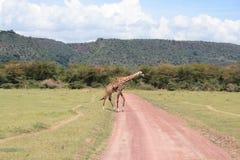 Giraffe no nationalpark de Manyara do lago Imagens de Stock