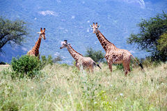 Giraffe no savana Fotos de Stock Royalty Free