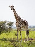 Giraffe no savanna fotografia de stock royalty free