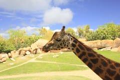 Giraffe no selvagem Fotos de Stock