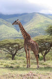 Giraffe no Serengeti Fotos de Stock Royalty Free