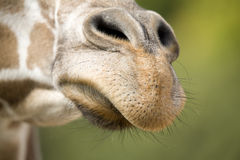 Giraffe nose. Up close giraffe nose and mouth Royalty Free Stock Photography