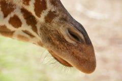 Giraffe nose Stock Photography
