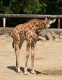 Giraffe novo no JARDIM ZOOLÓGICO Foto de Stock