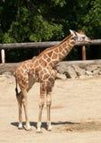 Giraffe novo no JARDIM ZOOLÓGICO Imagem de Stock