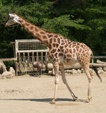 Giraffe novo no JARDIM ZOOLÓGICO Fotos de Stock Royalty Free