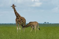 Giraffe nursing its calf stock photography