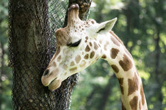 Giraffe Nuzzles a Tree. A a closeup of a Giraffe Nuzzles a Tree Royalty Free Stock Images