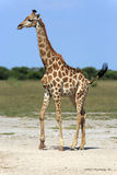 Giraffe. In the Nxai Pan Nationalpark Royalty Free Stock Images