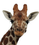 Giraffe Object Isolated. Portrait of head of giraffe isolated on white background stock photos