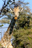 Giraffe in Okavango Delta, Botswana, Africa Stock Photo