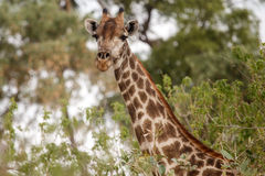 Giraffe at Okavango Delta - Moremi N.P. Stock Photography
