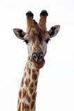 Giraffe at Okavango Delta - Moremi N.P. Stock Photos