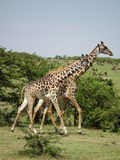 Giraffe in Ol Kineyi conservancy near Masai Mara , Stock Photography