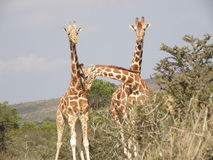 Giraffe in Ol Kineyi conservancy near Masai Mara , Royalty Free Stock Images